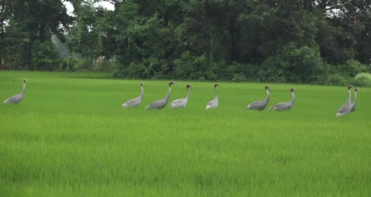 लुम्बिनी क्षेत्रका खेतमा देखिएका सारस। तस्बिरः भगवती पाण्डे/सेतोपाटी